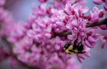 A Sure Sign Of Spring. A Bumble Bee Stays Busy Gathering Pollen From The Beautiful Magenta Redbud Blooms With A Nice Bokeh Effect.