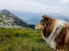 Side View Of Rough Collie Standing On Mountain