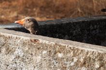 Close-up Of Greylag Goose Peeking Through Retaining Wall