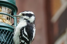 Close-up Of Downy Woodpecker On Bird Feeder
