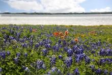Bluebonnet Field