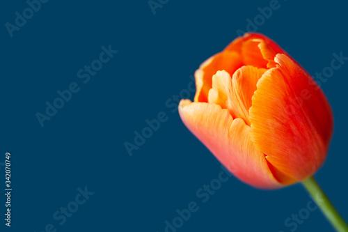 Valokuvatapetti Tulip flower close-up