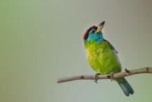 Blue Throat Barbet In An Eveni...
