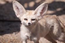 Close-up Portrait Of Fennec Fox