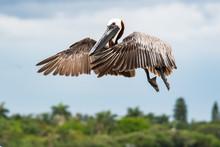Brown Pelican Flying Over Pier...