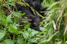 Cucciolo Di Gorilla Di Montanga