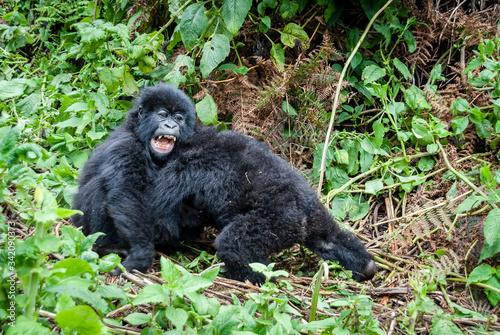 Vászonkép Cuccioli di gorilla di montagna