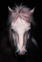 Closeup Of Muzzle Of Beautiful Calm White Horse Looking At Camera On Black Background