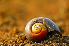 Carcass Of Snail Shell On Drou...