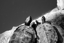 Close-up Of Turtles By Pond On Rock