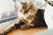 Cute tabby cat lying on wooden window sill in warm sunny light and relaxing. Adorable Main coon sleeping, cozy image. Isolation at home during coronavirus pandemic concept