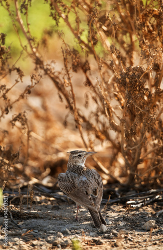 Valokuvatapetti Crested Lark in its habitat