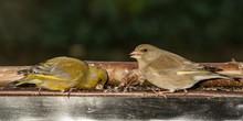 European Greenfinch (Chloris Chloris). Two Birds, A Couple, Are Feeding On A Feeder. Czechia. Europe.