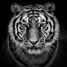 Closeup Head Shot Of A Tiger