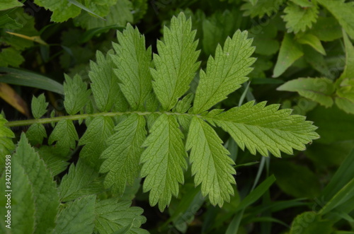 The shiny silver leaves of Silverweed (Potentilla anserina, a type of cinquefoil Canvas Print