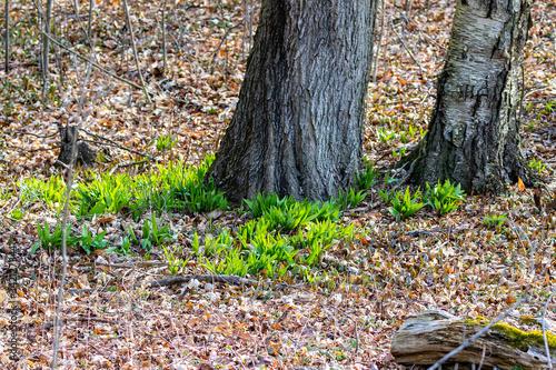 Wild Ramps - wild garlic ( Allium tricoccum), commonly known as ramp, ramps, spring onion,  wild leek, wood leek Canvas