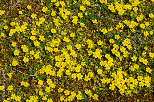 Yellow flowers of creeping cinquefoil as floral background, Potentilla reptans o Canvas Print