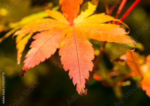 Photo Autumnal Acer