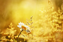 Field Daisies In The Morning M...