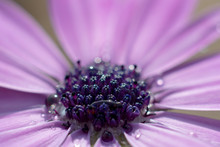 African Daisy Stigma Close Up