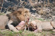 Lions Hunting Deer On Field