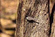 Black-capped Chicadee.  In The Spring, Woodpeckers Make Holes In A Tree From Which Sweet Sap Flows. Other Birds Also Fly To These Places, Drinking This Sweet Sap