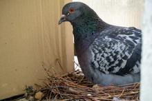 Responsible Male Pigeon Sittin...