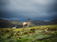 Mother And Baby Alpaca In Chaullacocha Village, Andes Mountains, Peru, South America