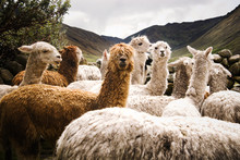 Group Of Alpaca In The Mountai...
