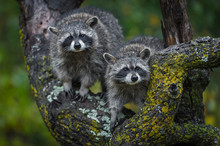 Raccoons (Procyon Lotor) Stare...