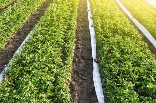 Photo Long rows plantation of potato bushes after agrofibre removal