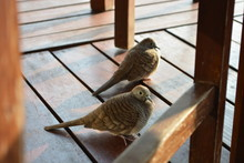 High Angle View Of Mourning Doves On Floorboard