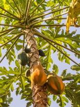 A Papaya Tree Has A Tall Trunk With A Crown Of Leaves At The Top Of It - Kampong Cham, Cambodia