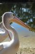 Pelicanos en detalle