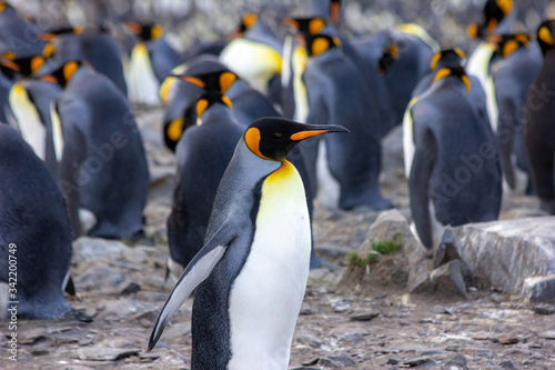 king penguin colony Canvas Print