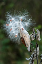 Close Up Of Milkweed Pod And Seeds Blowing In Wind