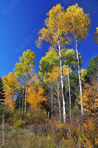Photo Tall yellow Aspen trees in autumn colour in Algonquin Park Ontario Canada
