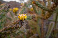 Yellow Blossoms On Cane Cholla Cactus (walking Stick Cholla)