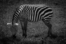 Side View Of A Zebra Grazing
