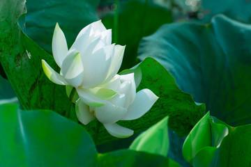 Obraz na Szkle Do sypialni White lotus flower, mist and morning sun