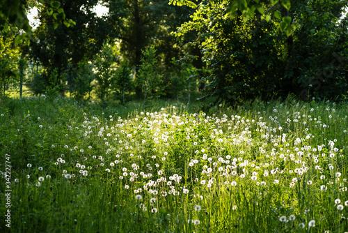 Fototapeta Whate dandelions bloom in a sun meadow near the forest obraz na płótnie