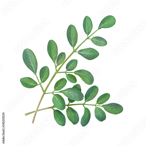 Fototapety, obrazy: Moringa Leaf Hand Drawn Pencil Illustration Isolated on White with Clipping Path