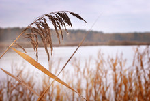 Close-up Of Reeds Growing On Field Against Sky