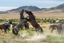 Wild Horses Fighting In The Utah Desert