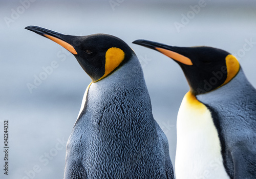 Fototapety, obrazy: King penguins, Fortuna Bay