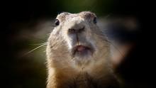 Close-up Portrait Of Prairie Dog