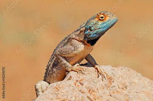 Portrait of a ground agama (Agama aculeata) sitting on a rock, South Africa Canvas Print