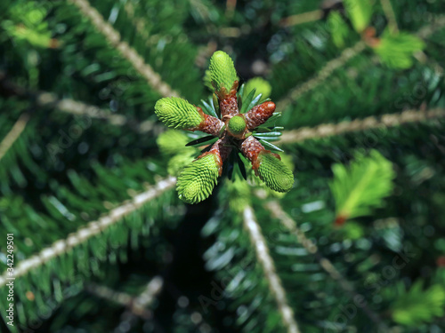 tree top of young silver fir, abies alba, top view of young shoots of treetop Wallpaper Mural