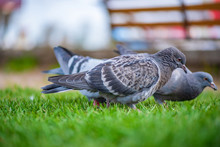 Pigeons On The Grass In The Pa...