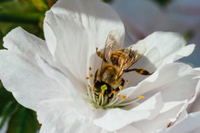 Bee Pollinating White Cherry T...